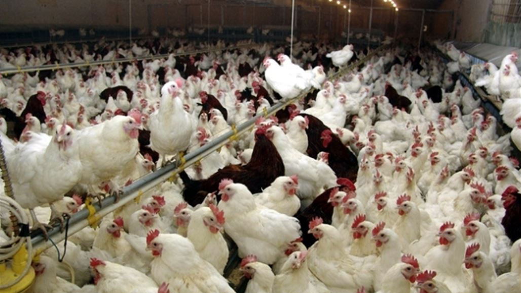 وزارة الزراعة تمنع تربية الدواجن في العراق لمدة ثلاثة اشهر